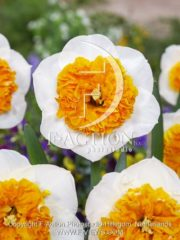 botanic stock photo Narcissus Amadeus Mozart