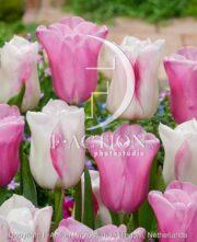 botanic stock photo Tulipa Blushing Girl-Mistress