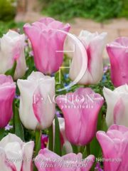 botanic stock photo Tulipa Blushing Girl-Mistress