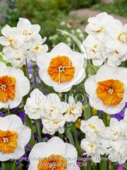 botanic stock photo Narcissus Bella Vista-Abba