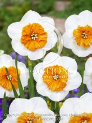 botanic stock photo Narcissus Bella Vista