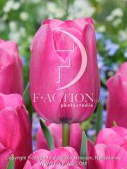botanic stock photo Tulipa Don Quichotte
