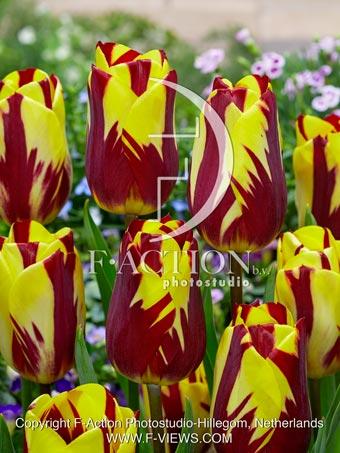 botanic stock photo Tulipa Helmar