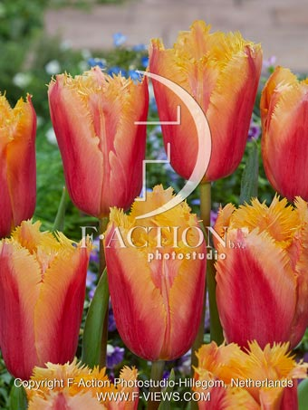 botanic stock photo Tulipa Lambada