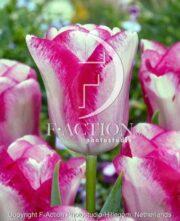 botanic stock photo Tulipa Mata Hari