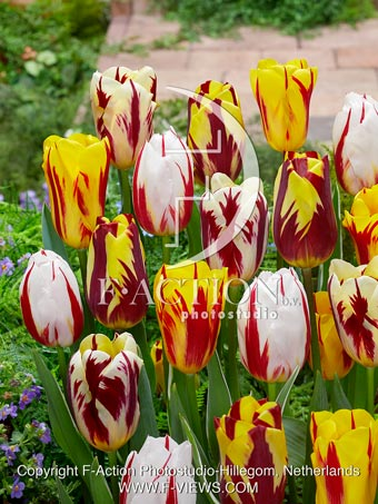 botanic stock photo Tulipa Paint Mixed