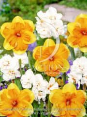 botanic stock photo Narcissus Mondragon-Abba