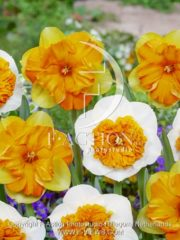 botanic stock photo Narcissus Mondragon-Amadeus Mozart