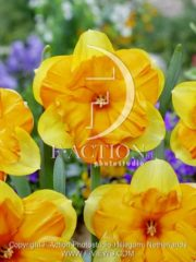 botanic stock photo Narcissus Mondragon
