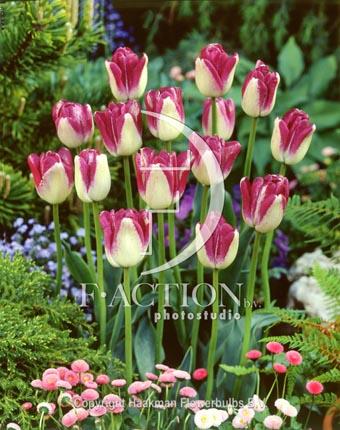 botanic stock photo Tulipa Shiun