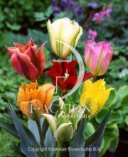 botanic stock photo Tulipa Viridiflora