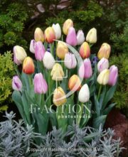 botanic stock photo Tulipa Pastel