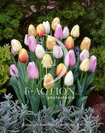 botanic stock photo Tulipa Pastel