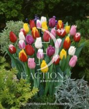 botanic stock photo Tulipa Fringed