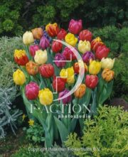 botanic stock photo Tulipa Double