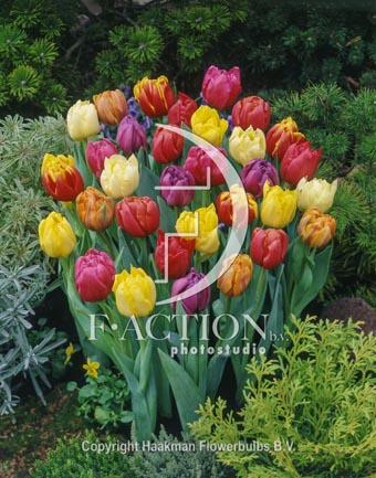 botanic stock photo Tulipa Double