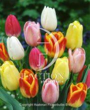 botanic stock photo Tulipa Bicolour