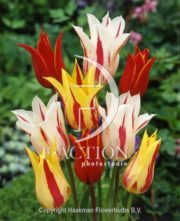 botanic stock photo Tulipa Lily flowering