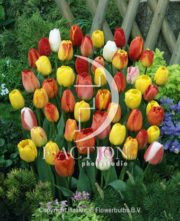 botanic stock photo Tulipa Darwin Hybride