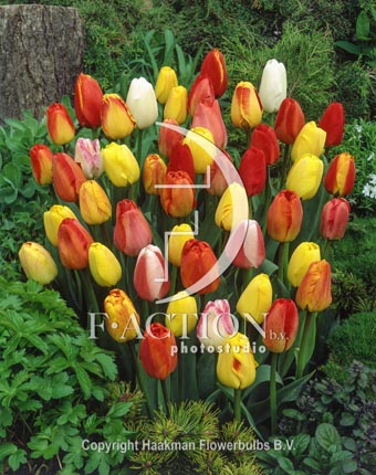 botanic stock photo Tulipa Darwin Hybride