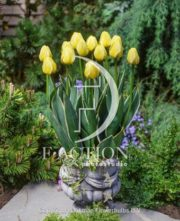 botanic stock photo Tulipa Jaao Groot
