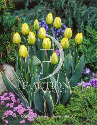 botanic stock photo Tulipa Jaao Groot
