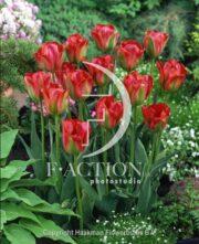 botanic stock photo Tulipa Green Valley