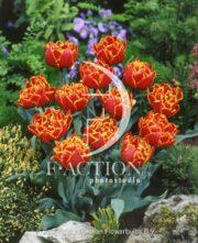 botanic stock photo Tulipa Gold Dust