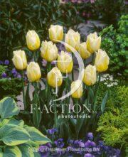 botanic stock photo Tulipa Flaming Coguette