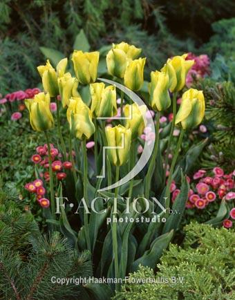 botanic stock photo Tulipa Formosa