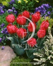 botanic stock photo Tulipa Flashpoint
