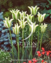 botanic stock photo Tulipa Deirdre