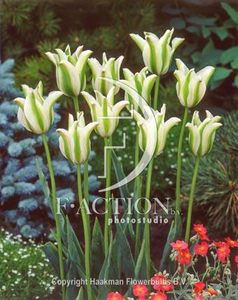 botanic stock photo Tulipa Deirdre