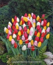 botanic stock photo Tulipa Christmas Dream Sport