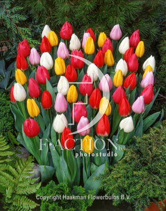 botanic stock photo Tulipa Christmas Dream Sport
