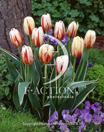 botanic stock photo Tulipa Carnaval De Rio