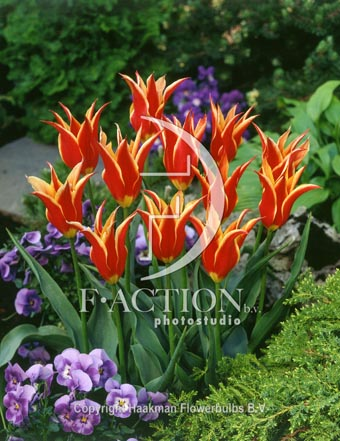 botanic stock photo Tulipa Aladdin's Record