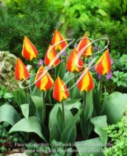 botanic stock photo Tulipa Flair