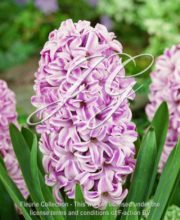 botanic stock photo hyacinthus Splendid Cornelia