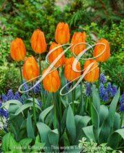 botanic stock photo Tulipa Gerneraal De Wet