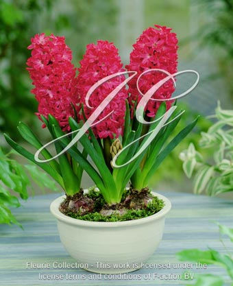 botanic stock photo hyacinthus Jan Bos