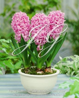 botanic stock photo hyacinthus Marconi