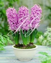 botanic stock photo Hyacinthus Paul Hermann