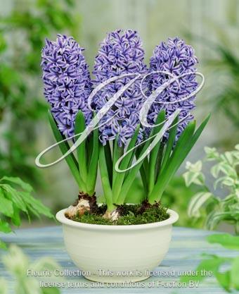 botanic stock photo Hyacinthus Blue Jacket