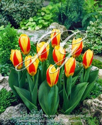 botanic stock photo Tulipa Stresa