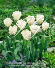 botanic stock photo Tulipa Snow Parrot