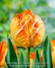 botanic stock photo Tulipa Prof. Rontgen