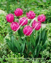 botanic stock photo Tulipa Queen of Marvel