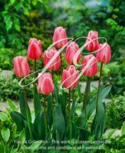 botanic stock photo Tulipa Peer Gynt