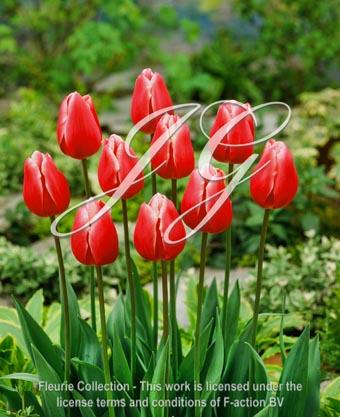 botanic stock photo Tulipa Debutante